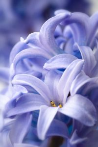 blue hyacinth 200x300 - Top 10 Spring Flowering Bulbs
