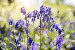 bluebells in spring forest 300x200 - Top 10 Spring Flowering Bulbs