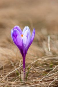 crocus 200x300 - Top 10 Spring Flowering Bulbs