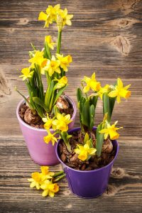daffodil 200x300 - Top 10 Spring Flowering Bulbs