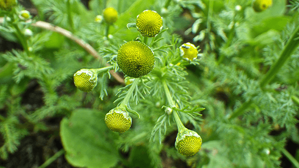 12 Valuable Benefits of Pineappleweed Medicinal Uses