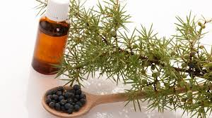 images 1 - 13 Incredible Benefits of Juniper Essential Oil