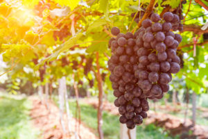 What Are Muscadine Grapes?