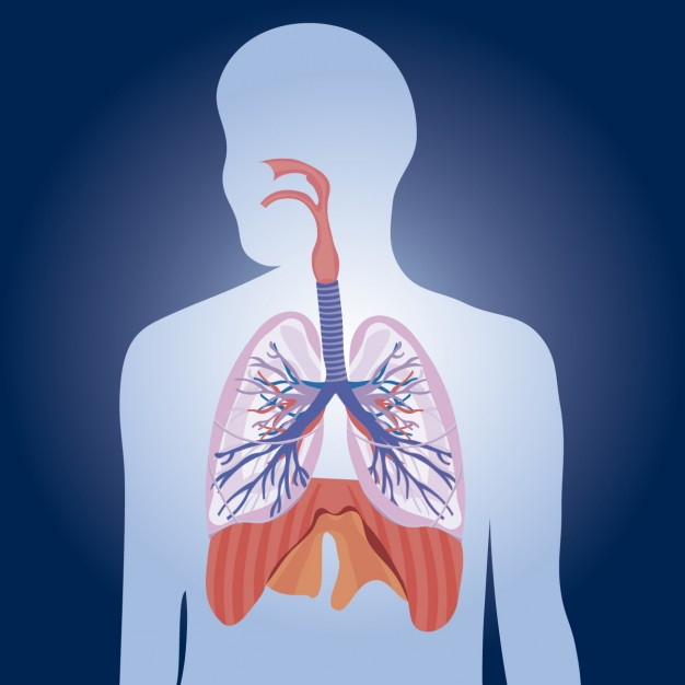 lungs physiology illustration 1010 419 - Respiratory disorders decrease lifespan among elders