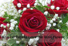 Why Love Rose Flower