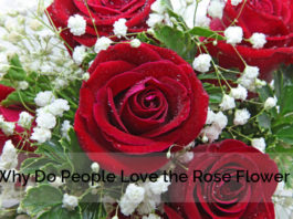 Why Love Rose Flower
