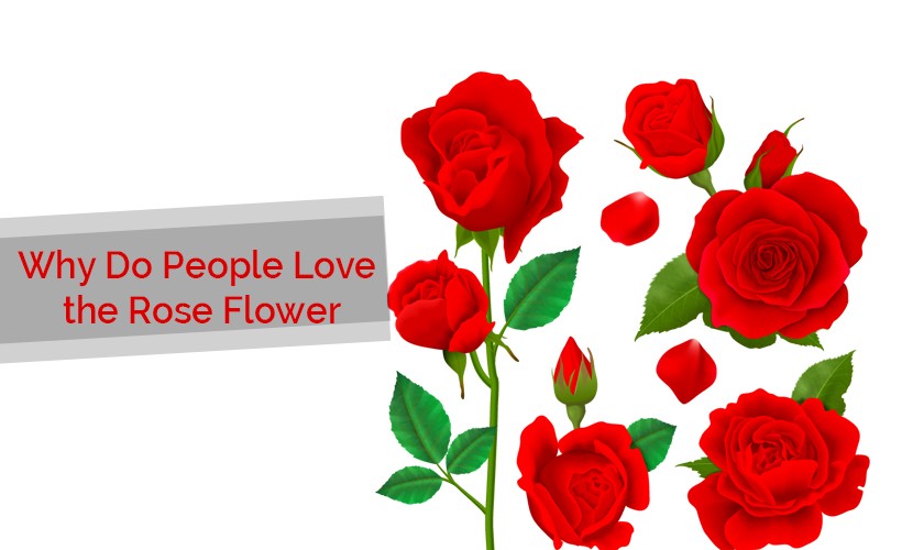8 - Why Love Rose Flower?