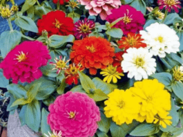 5 Best Winter Season Flower Seeds in India