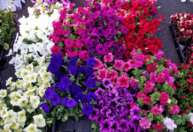 7 Winter Flowers for Indian Gardens